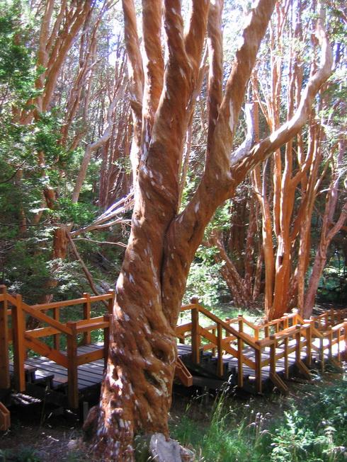 Forêt d'arrayanes