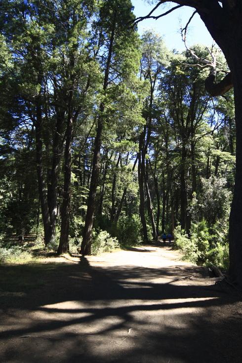 Dans la forêt les arbres sont d'une taille impressionnante
