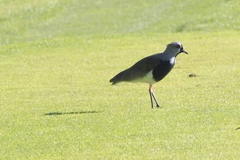 Un oiseau sur un green de golf